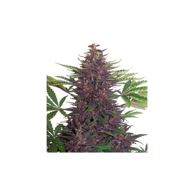 Buddha Purple Kush pack 1