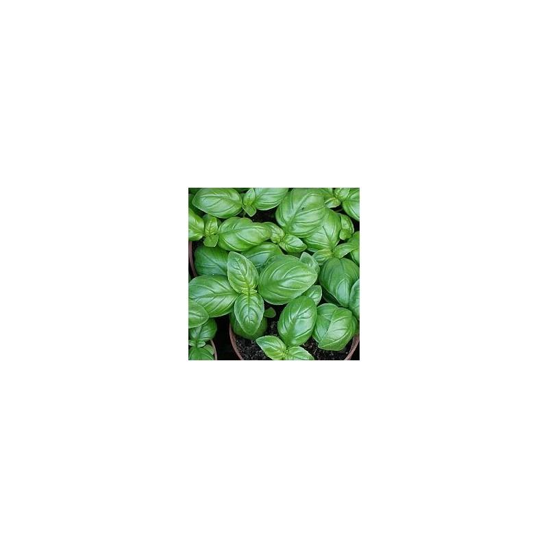 Semillas Albahaca ancha genovesa