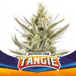 Tangie XXL Auto